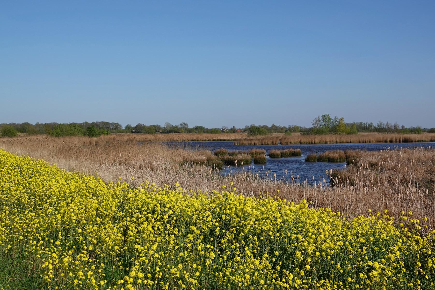Bloeiend raapzaad langs Langmameer (Onlanden)