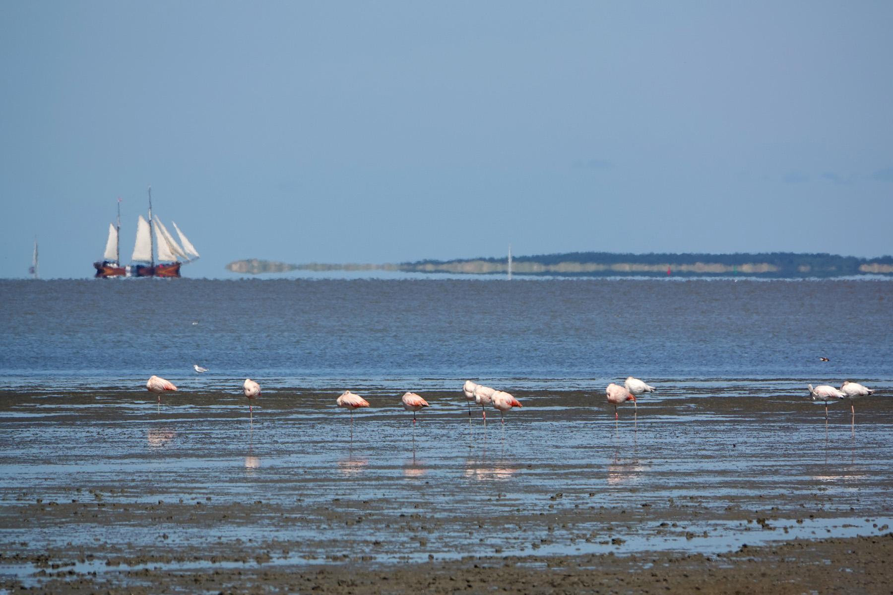 Flamingo op wad bij Zwarte Haan