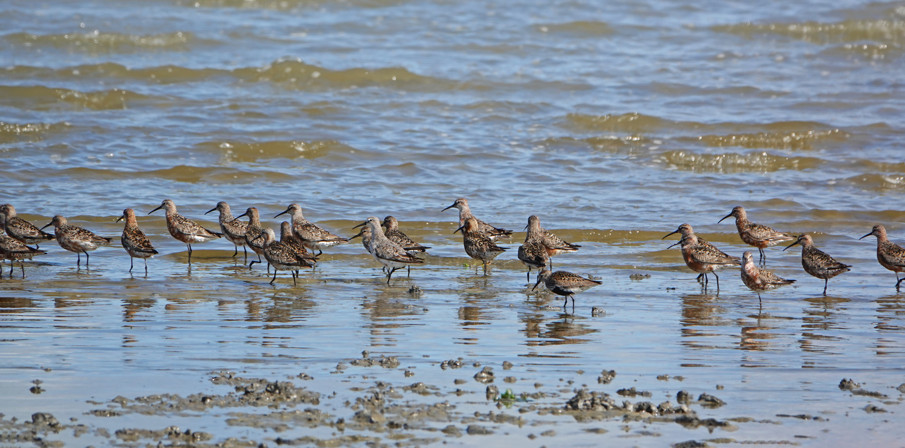 Krombekstrandlopers (Waddenzee)
