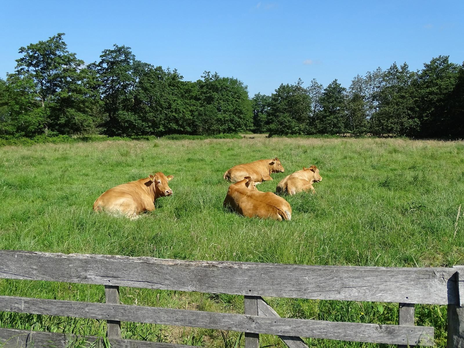 Limouisin koeien in het Beeld Onlanden
