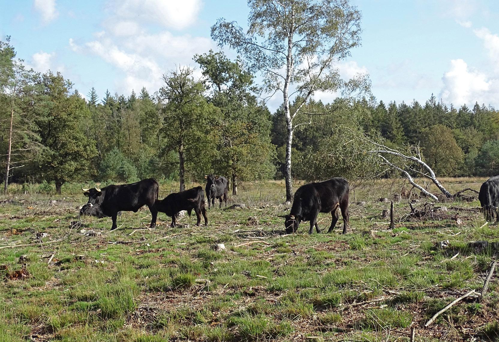 Sayaguesa's op Wapser- en Doldersummerveld (NP Drents Friese Wold)